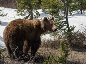 Rocky Mountains Grizzly