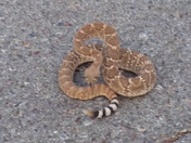 Three  foot western diamond back rattlesnake rattling