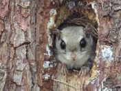 All land clearing came to a halt this morning when we saw this flying squirrel protecting his tree in Hollis NH.