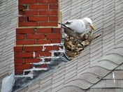 Newly-Hatched Baby Seagulls in Portland