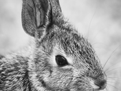 MH_148BW | Rabbit