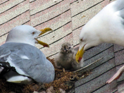 Newly-Hatched Baby Seagulls in Portland (2)