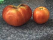 Home grown tomatoes thanks to the rain