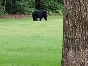 Bear in my back yard