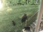 Black bear & cubs in Merrimack