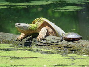 Snapping Turtle/Painted Turtle