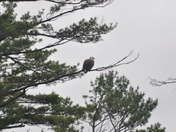 Bald eagle with a hitchiker on it's shoulder blades
