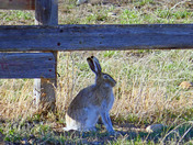 Spring Jack Rabbit