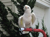 Cockatoo/Pet/Bird