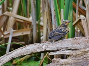 Europian Starling in the reeds.