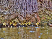 Mallard duck duclings.