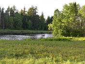 Moose swimming across the Androscoggin river in Errol NH.