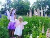 Lupin Fairies in Sugar Hill NH..