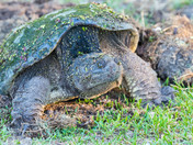 Snapping tutrtle