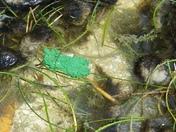 Blue/Green Algae