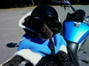 Little Lucky from West Chesterfield NH loves to go for rides on his auntie's bike