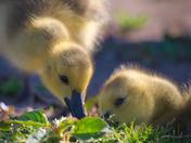 RG_151 | Canadian Geese