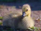 RG_152 | Canadian Goose