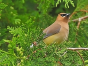 Waxwing in the Cedar