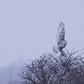 Snow Owl Flying Over Branches