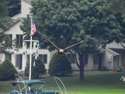 Bald Eagle on Angle Pond