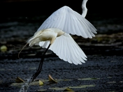 Egret's lift off.