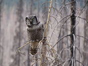 Hawk Owl near Jasper