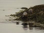 River otters near Victoria, BC