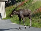 Moose visits Waterville ValleyTown Offices