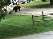Bear in Concord