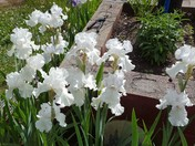 Bearded Irises in Londonderry.