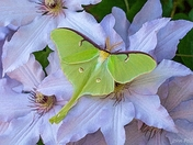 Luna moth & Clematis