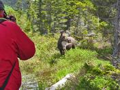 Moose Watching