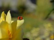 ladybug captured