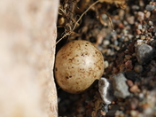 One lonely Lapland Longspur egg in a nest around fine rocks near Arviat