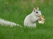 Our friendly white squirrel enjoying his dinner