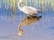 A Great Blue Heron and His Shadow