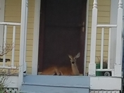 Deer on our neighbor's porch in Council Bluffs, IA