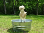 Chickaletta Chicken Cooling Off