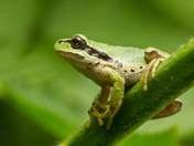 Tree Frog  (8175)