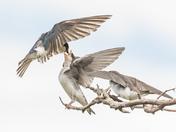 Tree Swallows (0143)