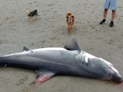 Great White shark at Seacliff beach Aptos. 7 feet long.