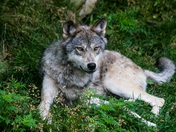 Timber Wolf Resting In The Grass