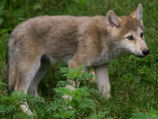 Wolf Pup In The Weeds