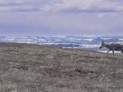 Barren-Ground Caribou in June