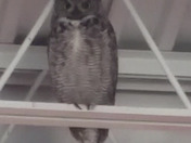 Family of five great horned owls mother father and three babies  (owlets)