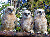 Great horned owlet trio