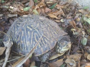 So cool to have box turtles around the yard!