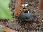 Quail in the Garden