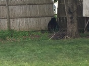 Bear found in our back yard